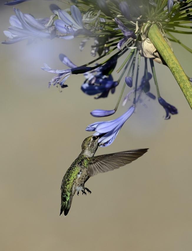 Colibri Calypte d'Anna