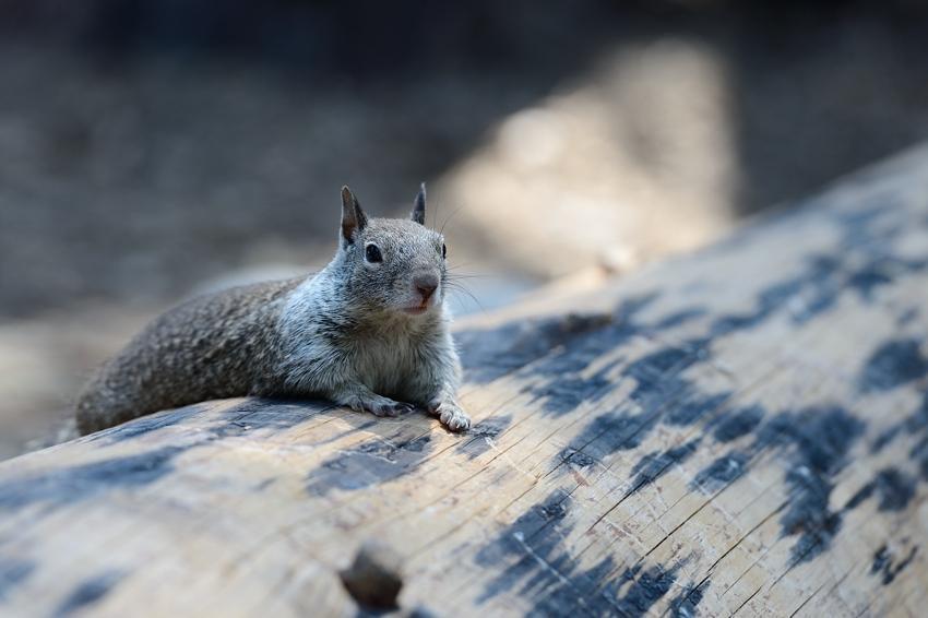 Ecureuil gris Californie