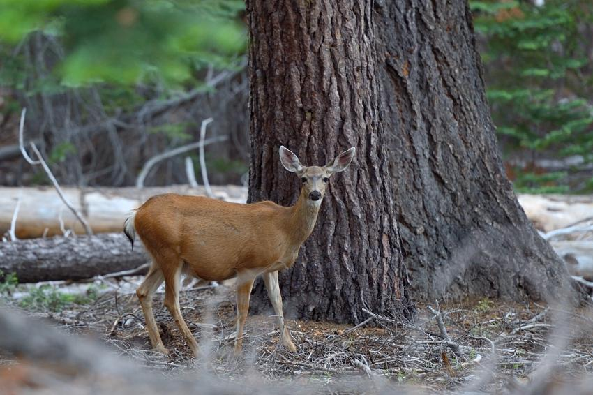 Deer, Glacier Road, Yosemite Park.