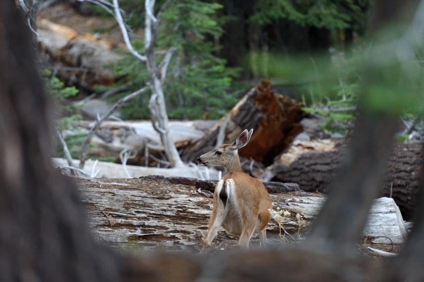 Deer, Glacier Road, Yosemite Park