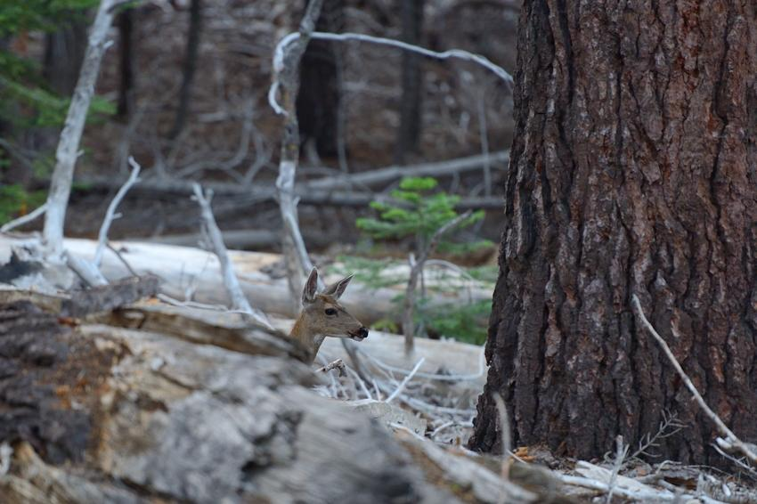 Deer, Glacier Road, YNP.