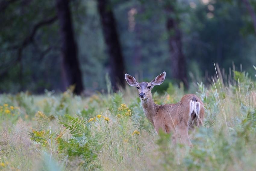 Deer , Cook's Meadow, Yosemite Valley