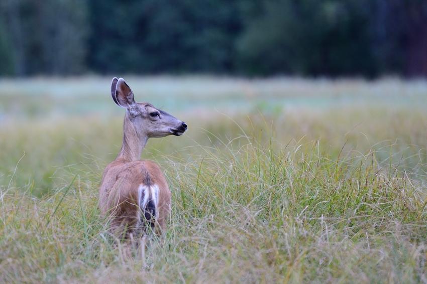 Deer, Cook's Meadow, YNP.