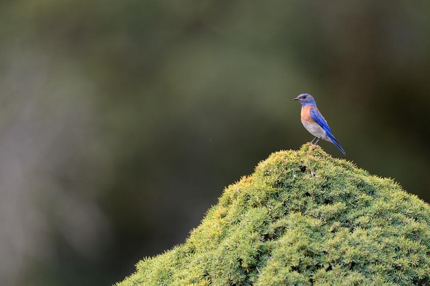 Western Blue Bird, Geyserville CA.