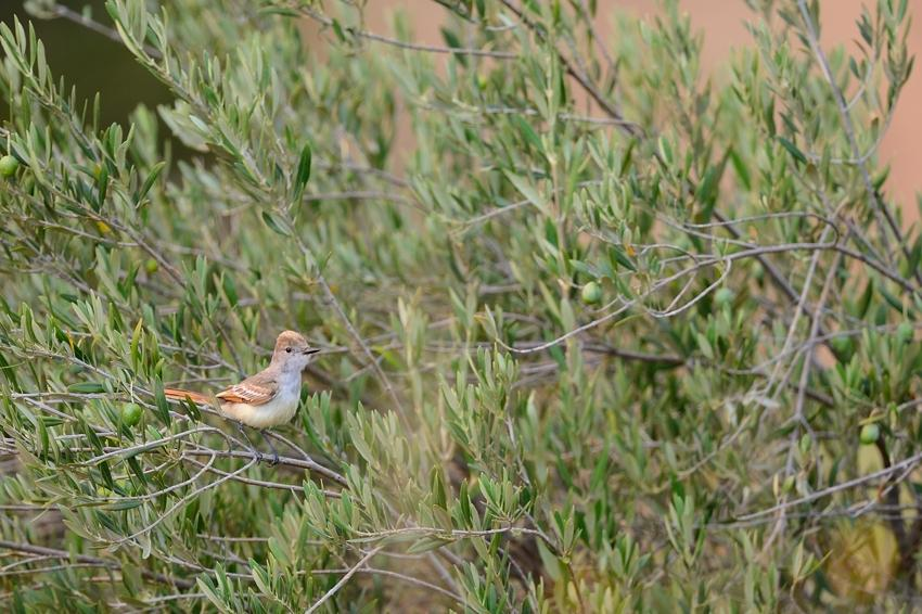 Brown-crested Flycatcher, Geyserville, CA.