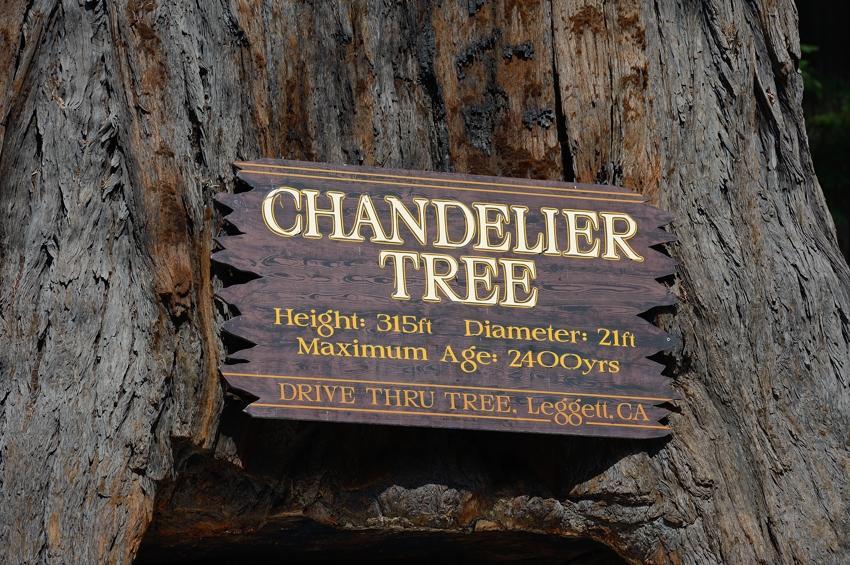 Chandelier Tree, Legget, CA.