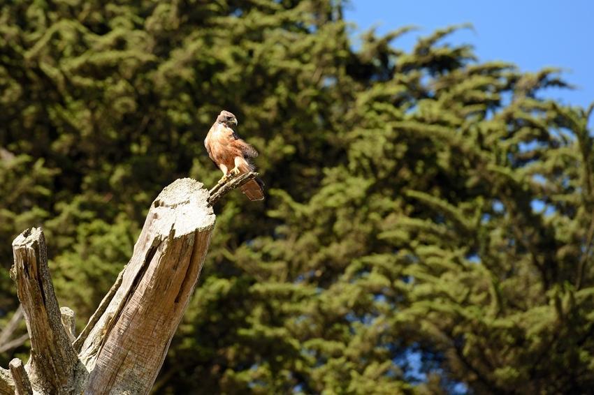 Red Shouldered Hawk, San Francisco, CA.