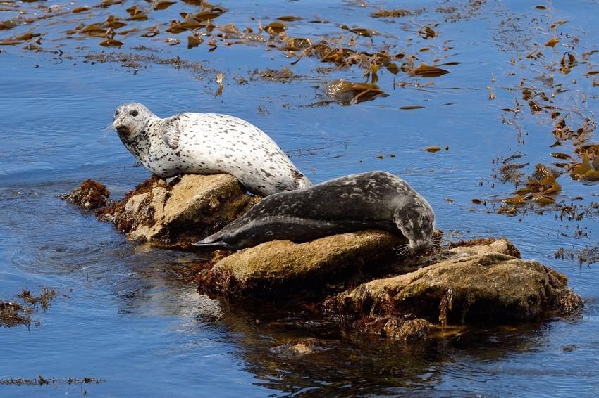 Common Seal, Point Lobos Reserve. CA.