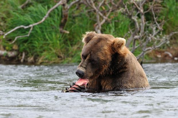 Grizzly, Katmaï