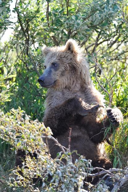 Jeune Grizzly, Katmaï